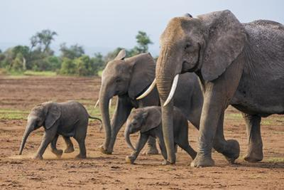 Kenya, Kajiado County, Amboseli National Park. a Family of African Elephants on the Move.