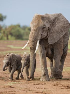 Kenya, Kajiado County, Amboseli National Park. a Female African Elephant with Two Small Babies. by Nigel Pavitt