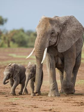 Kenya, Kajiado County, Amboseli National Park. a Female African Elephant with Two Small Babies. by Nigel Pavitt