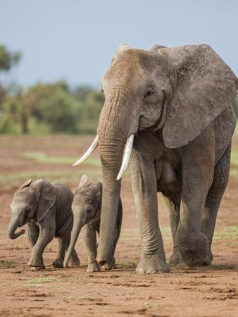 Kenya, Kajiado County, Amboseli National Park. a Female African Elephant with Two Small Babies.