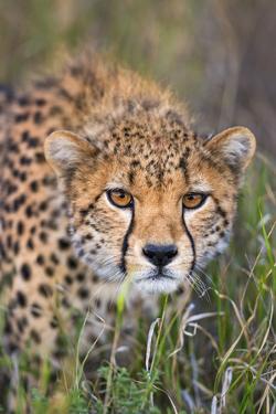 Kenya, Lewa Conservancy, Meru County. a Sub-Adult Cheetah Stalking its Prey in Lewa Conservancy. by Nigel Pavitt