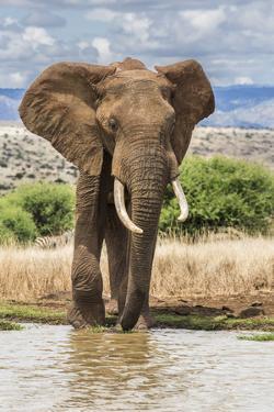 Kenya, Meru County, Lewa Conservancy. a Bull Elephant at a Waterhole. by Nigel Pavitt