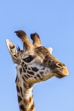 Kenya, Narok County, Masai Mara. a Young Maasai Giraffe. by Nigel Pavitt