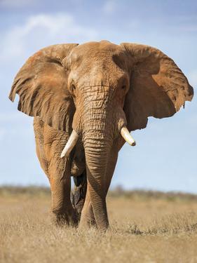 Kenya, Taita-Taveta County, Tsavo East National Park. a Fine Bull African Elephant on the Move. by Nigel Pavitt