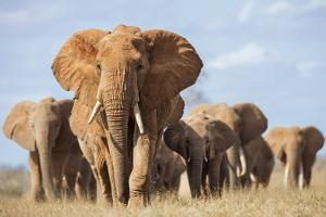 Kenya, Taita-Taveta County, Tsavo East National Park. a Herd of Elephants. by Nigel Pavitt