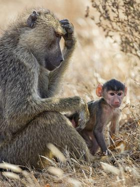 Kenya, Taita-Taveta County, Tsavo East National Park. an Olive Baboon with Her Baby. by Nigel Pavitt