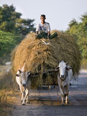 Myanmar, Burma, Bagan, A Farmer Takes Home an Ox-Cart Load of Rice Straw for His Livestock by Nigel Pavitt