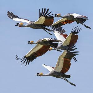 Uganda, Sipi. Grey Crowned Cranes in Flight. This Striking Species Is the National Bird of Uganda. by Nigel Pavitt