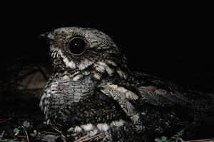 Nightjar on Ground, Woodland, Spain (Caprimulgus Europaeus)