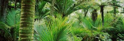 https://imgc.allpostersimages.com/img/posters/nikau-palm-trees-in-a-forest-kohaihai-river-oparara-basin-arches-karamea-south-island_u-L-PNVNGS0.jpg?p=0