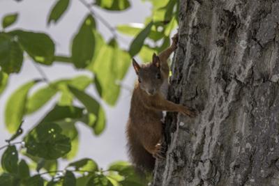 Squirrel on Walnut by Niki Haselwanter