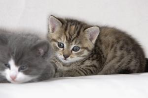 Couch, Cats, Young, Lying, Snuggles Up, Sleepily, Dozes, Together, Animals, Mammals by Nikky