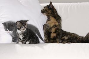Sits Couch, Cats, Young, Curiously, Dam, Lying, Alertly, Animals, Mammals, Pets by Nikky