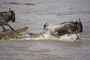 Nile Crocodile Attacking Wildebeest Migrating across Mara River