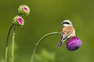 Red-Backed Shrike Male (Lanius Collurio) Male Perched on Musk Thistle (Carduus Nutans) Bulgaria by Nill