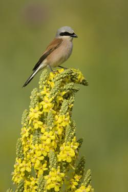 Red-Backed Shrike Male (Lanius Collurio) Perched on Denseflower Mullein, Bulgaria, May by Nill