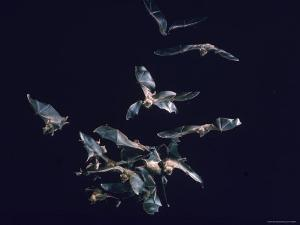 Pack of Spear Nosed Bats in Flight at Yale's Kline Biology Lab by Nina Leen