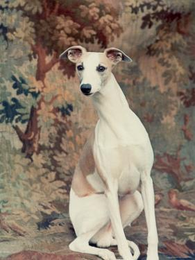 Portrait of Whippet Chosen Best in Show at the 88th Annual Westminster Kennel Club Dog Show by Nina Leen