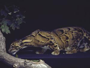 Rare Clouded Leopard Crouching near Tree, Asia by Nina Leen