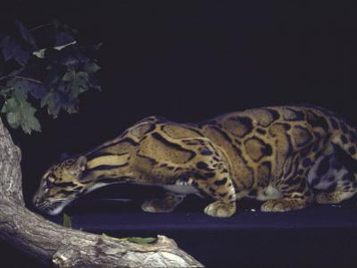 Rare Clouded Leopard Crouching near Tree, Asia