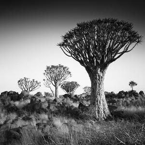 Namibia Quiver Trees by Nina Papiorek