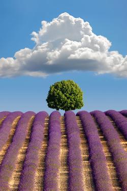 Lavender Field, Provence by Nino Marcutti