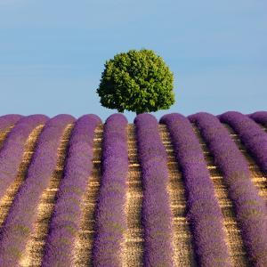 Tree on the Top of the Hill in Lavender Field by Nino Marcutti