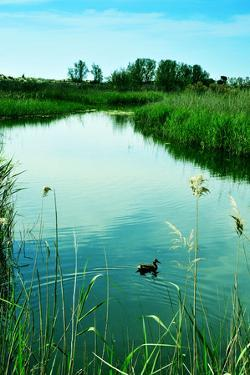 A Duck in a Pond in Els Muntanyans Natural Park in Torredembarra, Spain, with a Retro Effect by nito