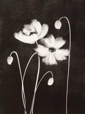Midnight Poppies by Nolan Winkler