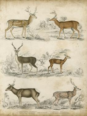 Non-Embellished Species of Deer