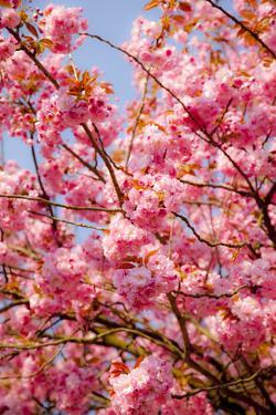 Japanese Ornamental Cherry, Branches, Blossoms, Detail, Outside, Tree, Sky, Blue, Sunny, Spring by Nora Frei