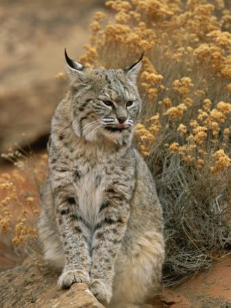 A Bobcat by Norbert Rosing