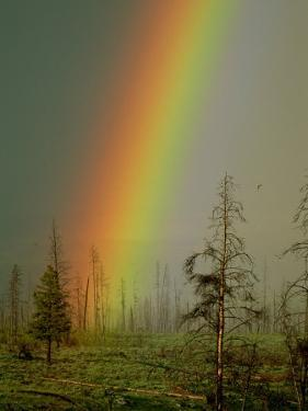A Brilliantly Colored Rainbow Ends in a Barren Forest in the Madison River Valley by Norbert Rosing