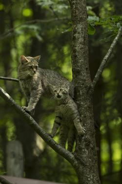 A Captive Wildcat, Felis Sylvestris, and Her Kitten, Climbing a Tree in an Enclosure by Norbert Rosing