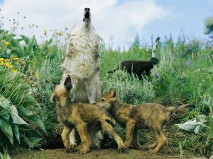 A Gray Wolf Teaches Her Young Pups to Howl by Norbert Rosing