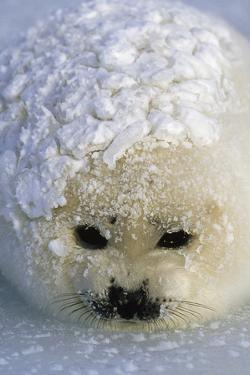 A harp seal pup wakes up with a snowy coat after a snowstorm. by Norbert Rosing