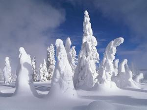 A Heavy Blanket of Snow and Fog Cover a Group of Pine Trees by Norbert Rosing