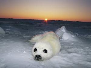 A Juvenile Gray Seal Pup Rests as the Sun Begins to Rise over the Snowy Landscape by Norbert Rosing
