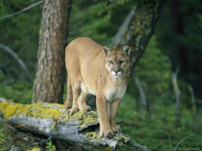 A Mountain Lion Balances on the Trunk of a Fallen Tree by Norbert Rosing