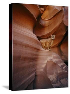 A Mountain Lion Pauses on a Ledge Inside a Swirled Rock Chasm by Norbert Rosing