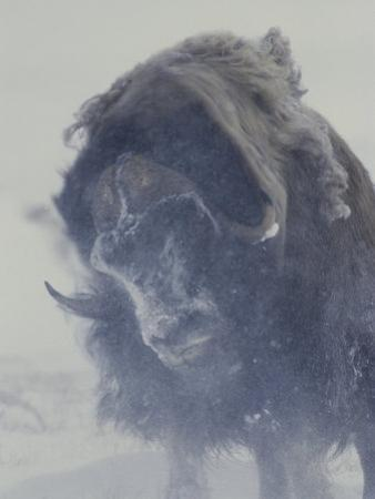 A Musk-Ox (Ovibos Moschatus) Shakes off His Snowy Coat by Norbert Rosing