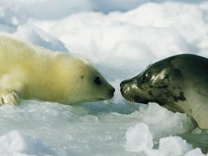 A Newborn Gray Seal Pup Bonds with its Mother by Norbert Rosing