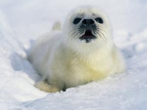 A Newborn Gray Seal Pup Lifts its Head and Stares Directly at the Camera by Norbert Rosing