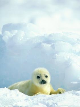 A Newborn Harp Seal Pup in a Thin White Coat Stares Directly at the Camera by Norbert Rosing