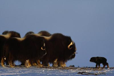 A newly born musk oxen calf is able to walk within hours of birth. by Norbert Rosing