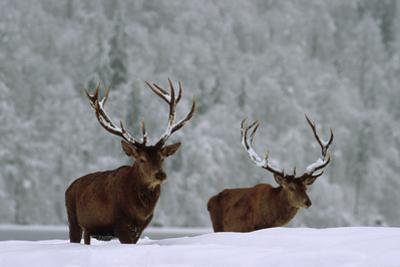 A pair of elk, with large antlers, in a snowy landscape. by Norbert Rosing
