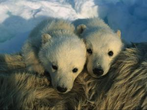 A Pair of Young Polar Bear Cubs by Norbert Rosing