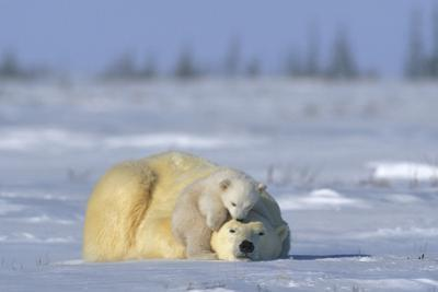 A Polar Bear Cub Plays with It's Resting Mother. Ursus Maritimu by Norbert Rosing