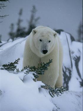 A Polar Bear in a Snowy, Twilit Landscape by Norbert Rosing