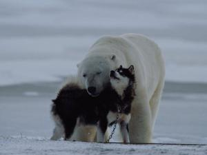 A Polar Bear (Ursus Maritimus) and a Husky Cuddle up to Each Other in the Snow by Norbert Rosing